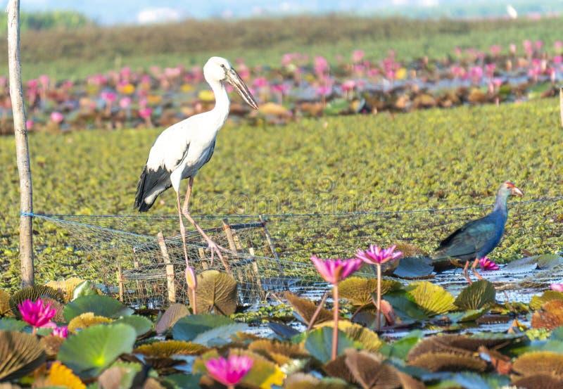 P?jaro en el lago Phatthalung, Tailandia Thalenoi fotografía de archivo