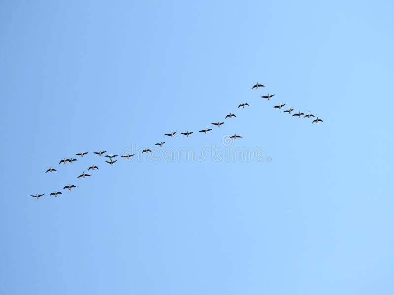 P?jaros del ganso que vuelan en el cielo azul, Lituania fotos de archivo