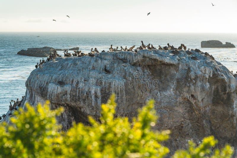 P?lican de Brown Grand à la colonie des pélicans sur Cliff Top photo libre de droits