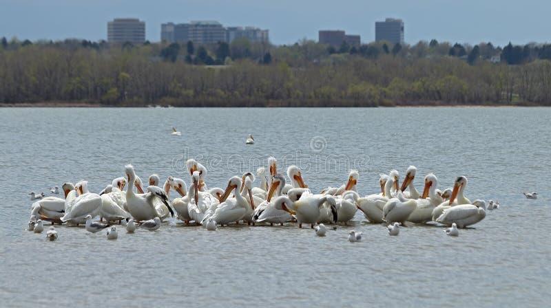 P?licans blancs am?ricains de migration en Cherry Creek State Park, Denver, le Colorado photographie stock libre de droits