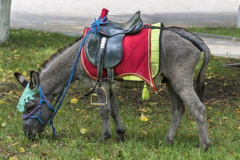 Pônei da raça do cavalo fotos de stock royalty free