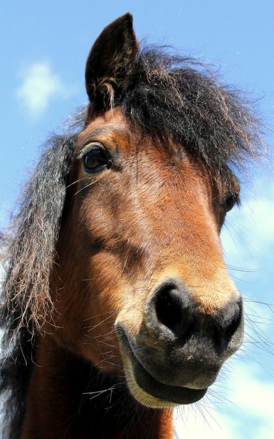 Pônei de Dartmoor fotografia de stock