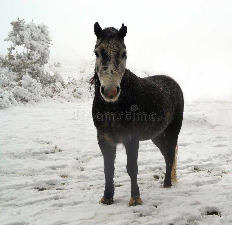 Pônei de Dartmoor na neve imagem de stock royalty free