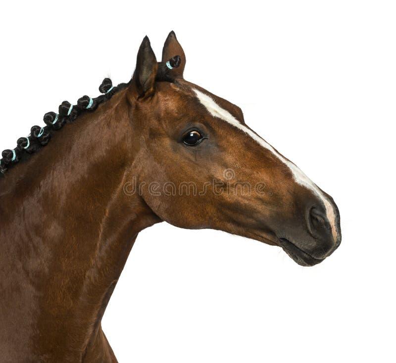 Pônei de galês - 17 anos velho, caballus do ferus do Equus fotos de stock
