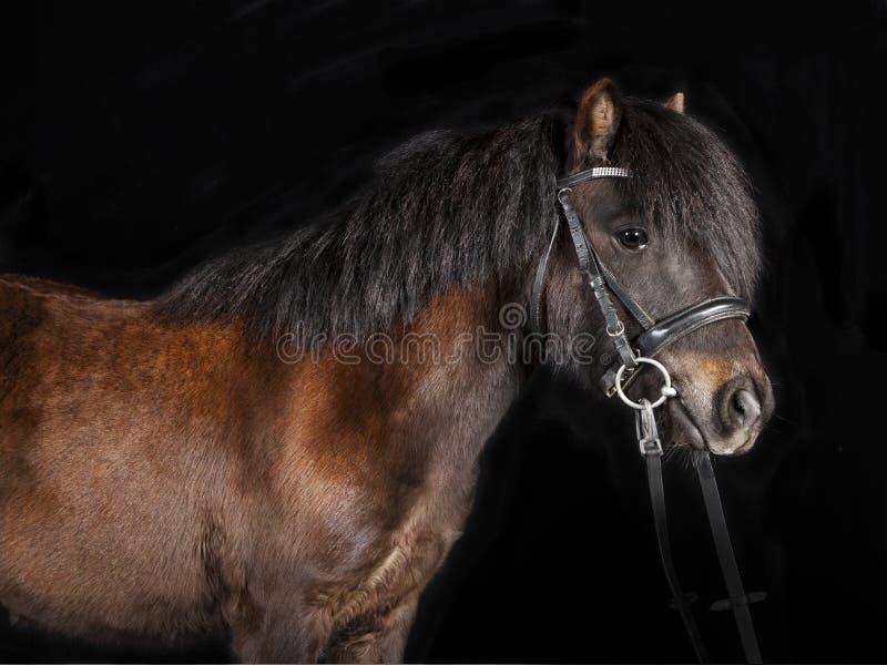 Pônei de Mini Shetland fotografia de stock royalty free