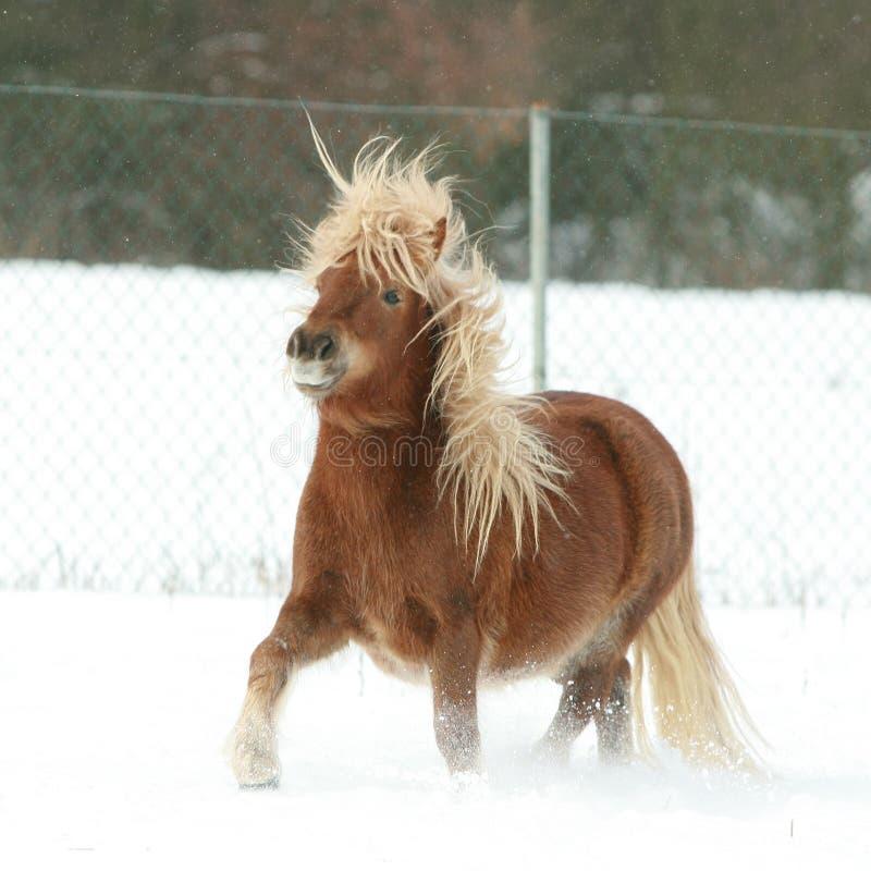 Pônei de Shetland lindo com juba longa no inverno foto de stock