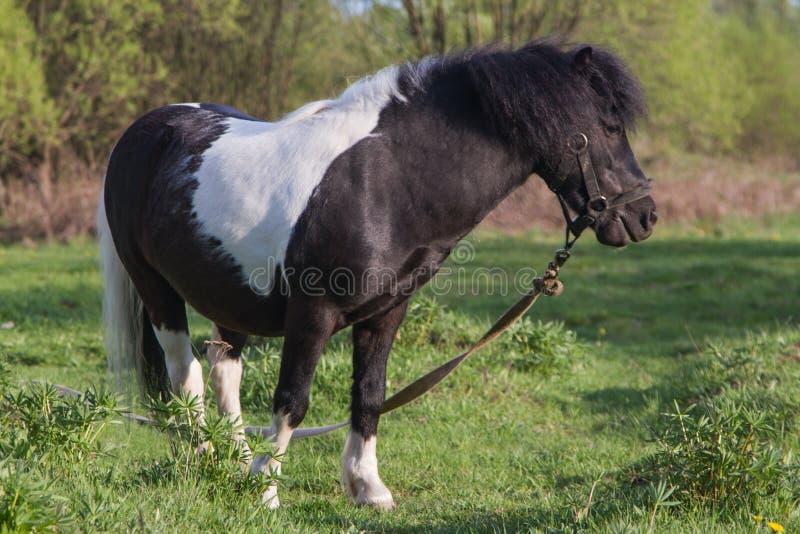 P?nei preto e branco da ra?a do cavalo Os cavalos pastam no prado O cavalo est? comendo a grama imagens de stock royalty free