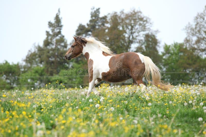 Pônei que corre em flores amarelas no pasto foto de stock royalty free