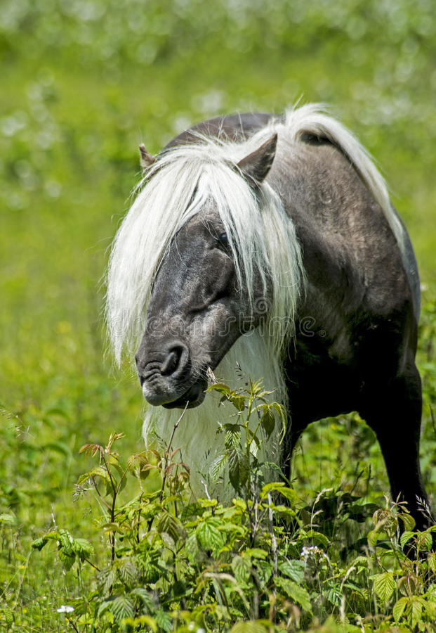 Pônei selvagem cinzento masculino de Grayson Highlands que olha através de sua juba longa imagens de stock royalty free