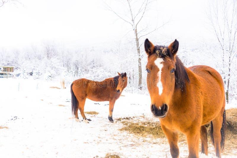 Pôneis da neve fotografia de stock