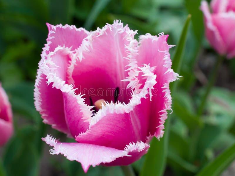 P!nk ha guarnito il tulipano di frange immagini stock libere da diritti