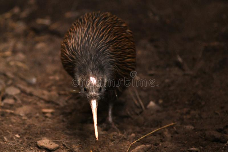 P??nocny Wyspy Brown Kiwi, Apteryx mantelli obraz royalty free