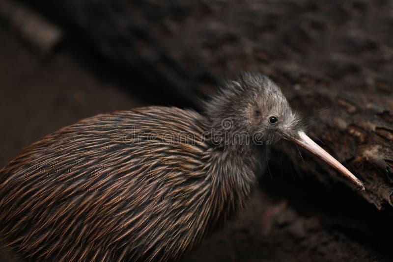 P??nocny Wyspy Brown Kiwi, Apteryx mantelli zdjęcia stock