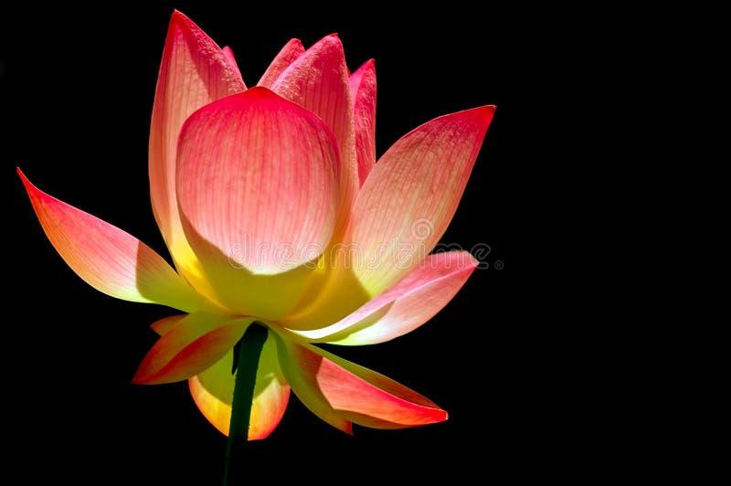 P??przezroczysty lotosowy kwiat fotografia stock