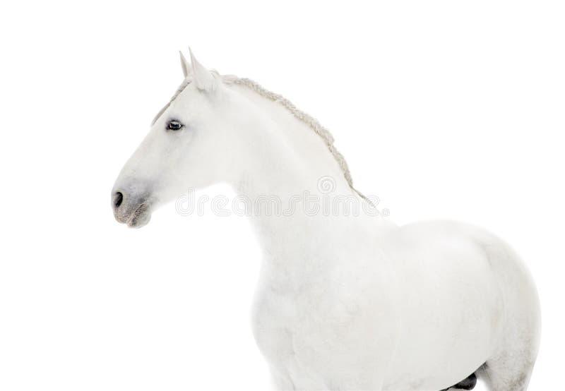 P.R.E. cheval sur le blanc photos libres de droits