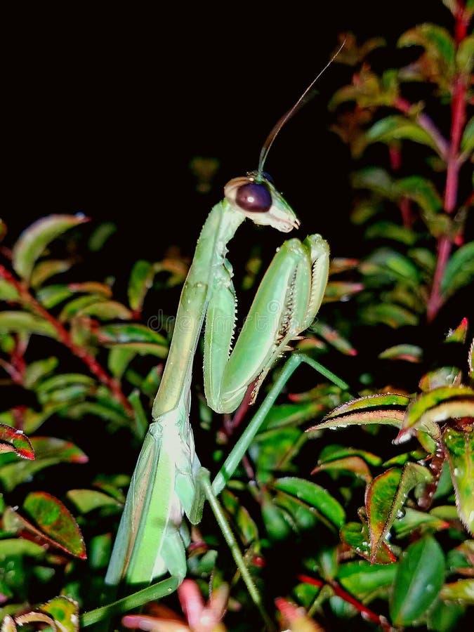 P Ray Mantis imagen de archivo