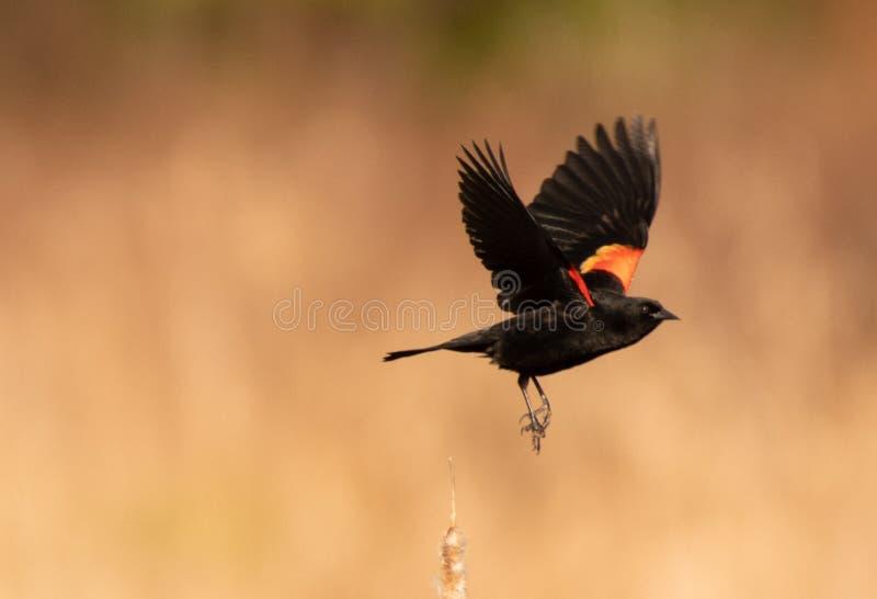 p?skyndad blackbirdred royaltyfria foton