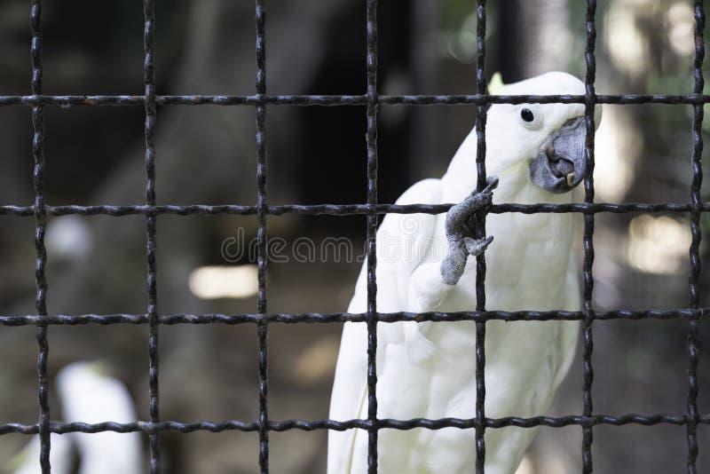 P?ssaro branco da cacatua imagem de stock royalty free