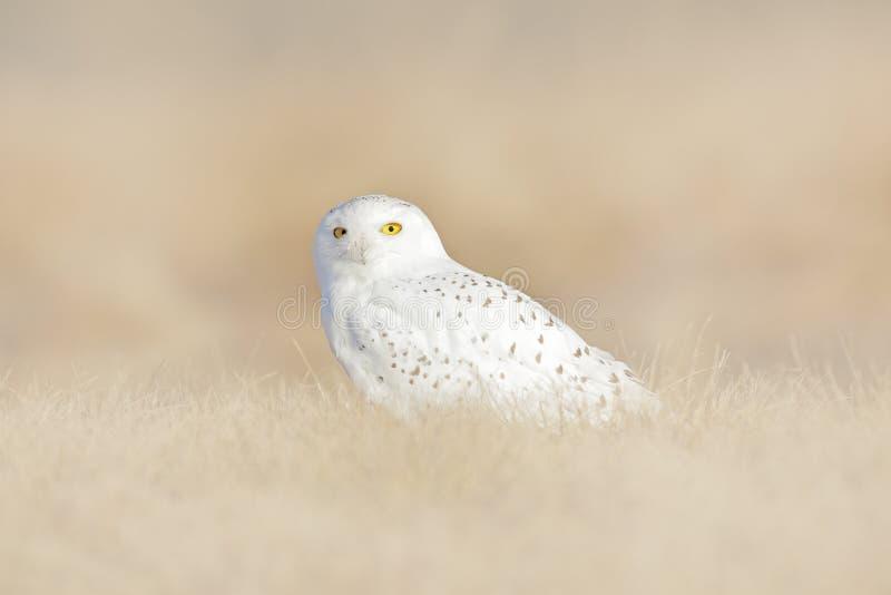 P?ssaro branco no campo, cena dos animais selvagens da natureza Coruja nevado escondida no prado, p?ssaro com os olhos amarelos q fotos de stock royalty free