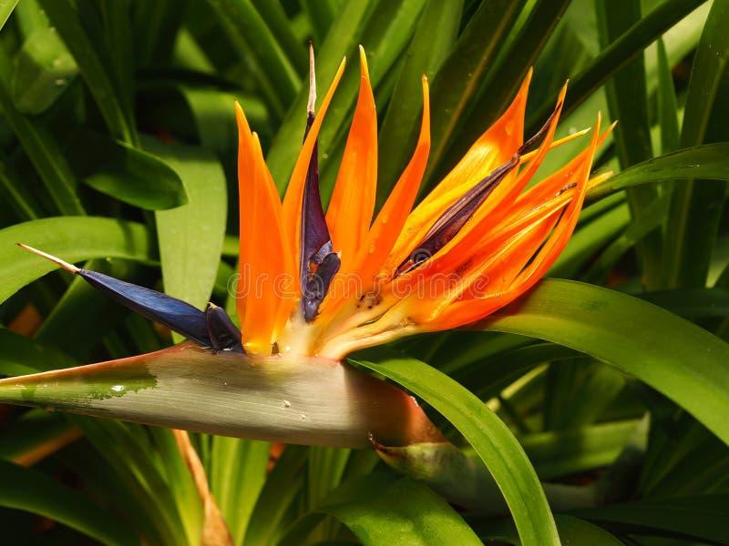 P?ssaro da flor do Strelitzia do para?so imagem de stock