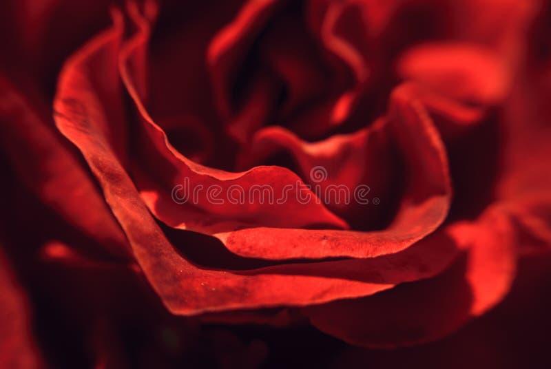 P?tales d'un beau bourgeon rose rouge photo stock