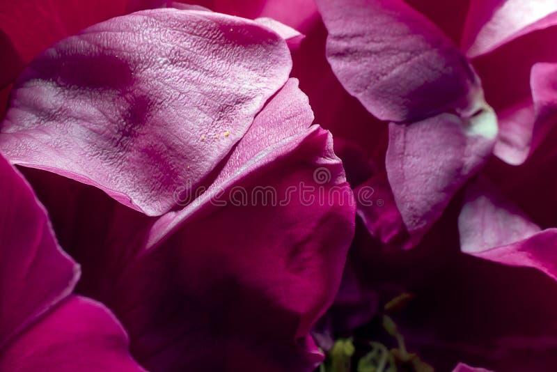 p?tales roses Haut ?troit de d?tail Macro photographie images libres de droits