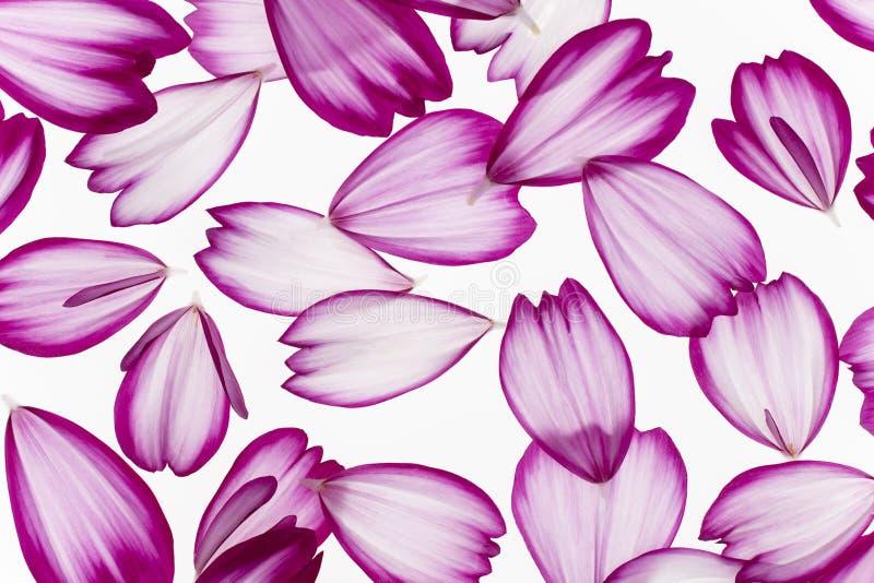 P?talos de la flor del cosmos fotos de archivo libres de regalías
