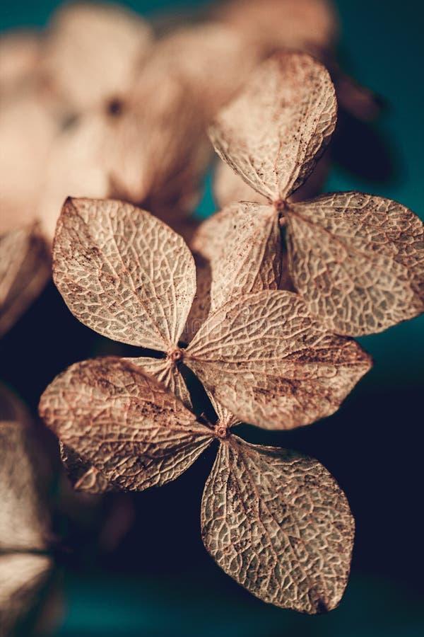 P?talos texturizados secos de la hortensia en un cierre azul marino del fondo para arriba Hortensia secada de las flores Macro de imágenes de archivo libres de regalías