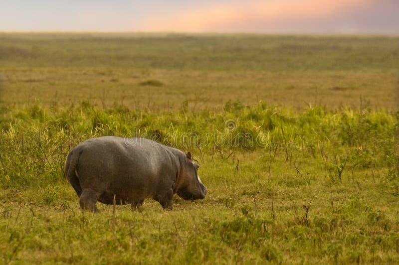 P?turage d'hippopotame images libres de droits