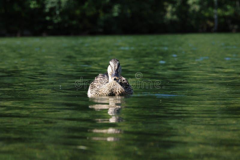 Download Pływanie kaczki obraz stock. Obraz złożonej z jezioro, strumień - 26523