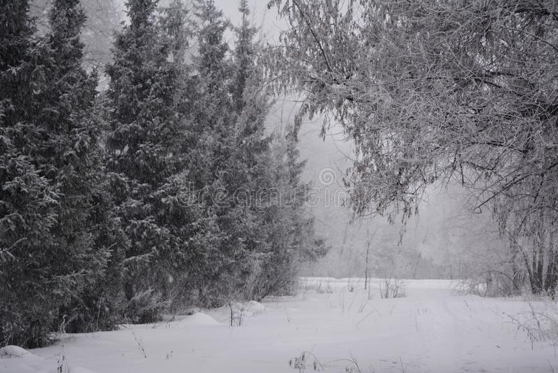 País das maravilhas do inverno em uma queda de neve misturada da floresta no dia nebuloso fotos de stock royalty free
