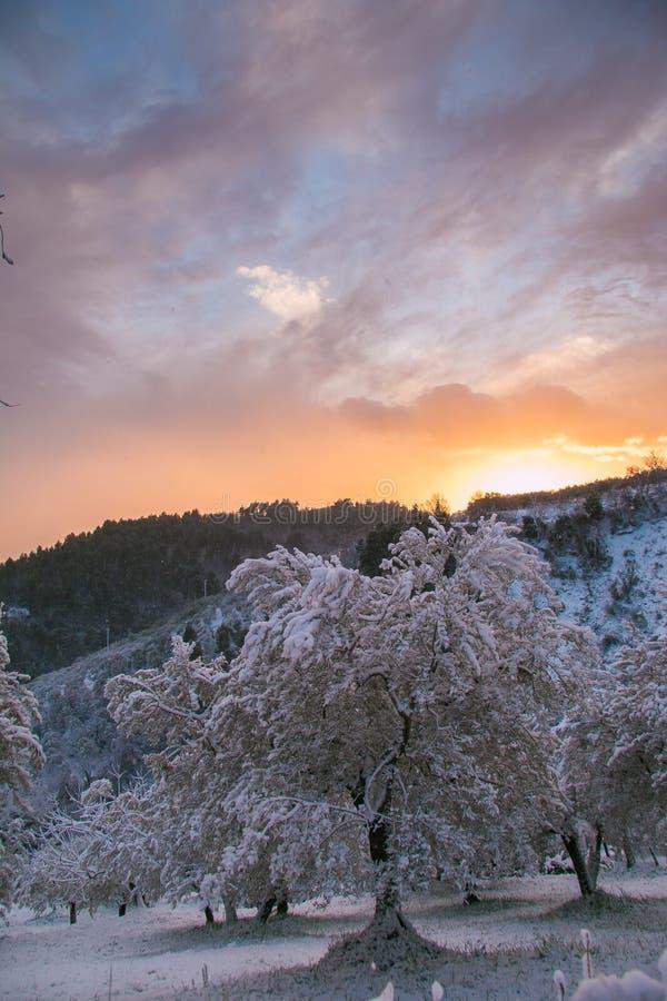 País de las maravillas del invierno con los olivos en la nieve en la puesta del sol imagenes de archivo