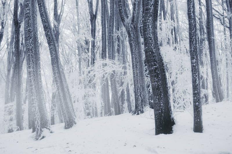 País de las maravillas de maderas del invierno con helada en árboles imagen de archivo