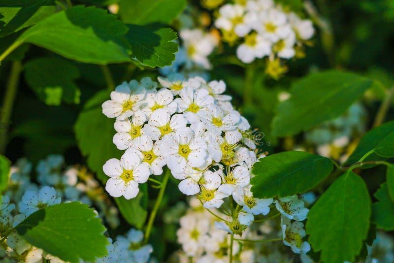 Paño del nombre científico del oro: Camara L del Lantana Flor amarilla y blanca Flores amarillas y blancas del Lantana en el jard fotos de archivo
