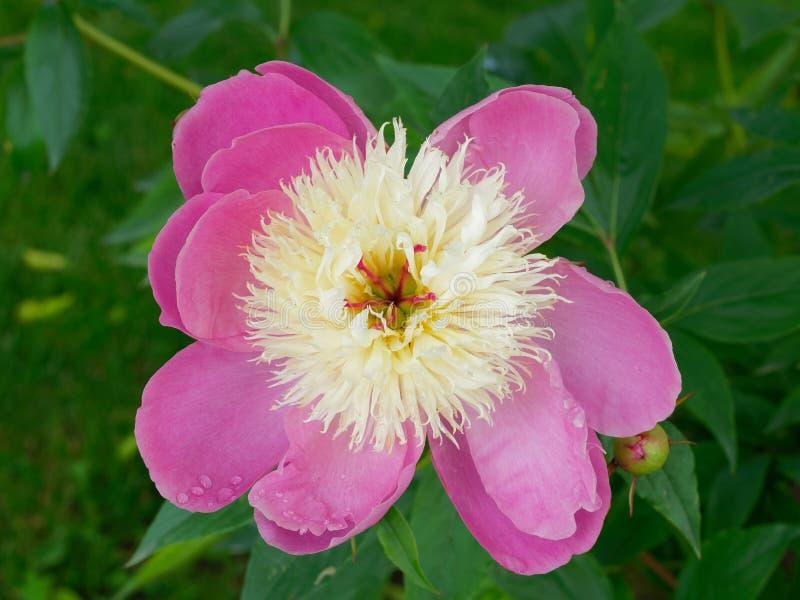 Paño mortuorio común del lactiflora del Paeonia de la peonía del jardín Flor fotografía de archivo