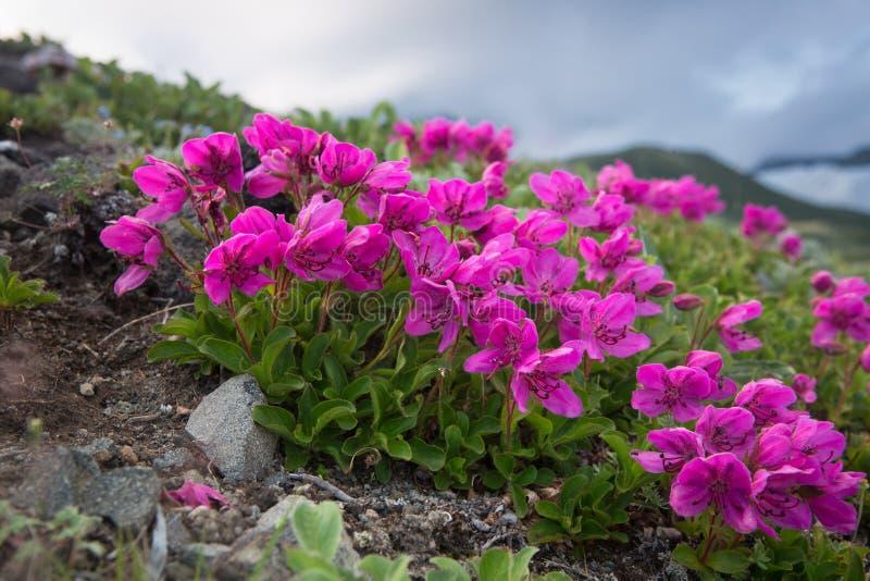 Paño mortuorio del camtschaticum del rododendro fotos de archivo