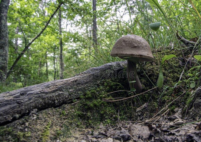 Pałeczka brunatna na letniej podłodze leśnej zdjęcia stock