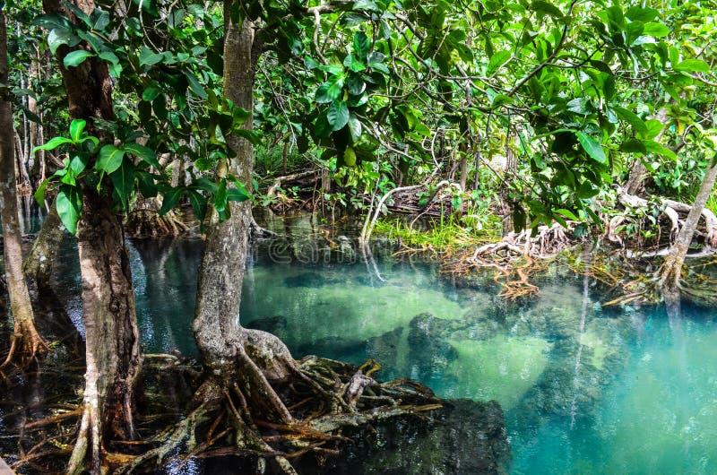 PA Phru Tha Pom Khlong Song Nam: Bosque del mangle en Krabi, Thail fotos de archivo
