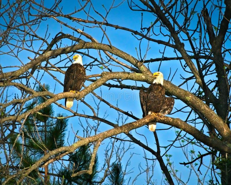 Paar Amerikaanse kale die adelaars op takken worden neergestreken royalty-vrije stock afbeeldingen