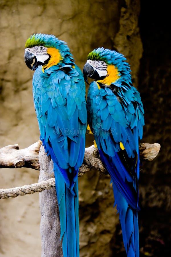 Paar Blauwe en Gouden Ara's stock foto