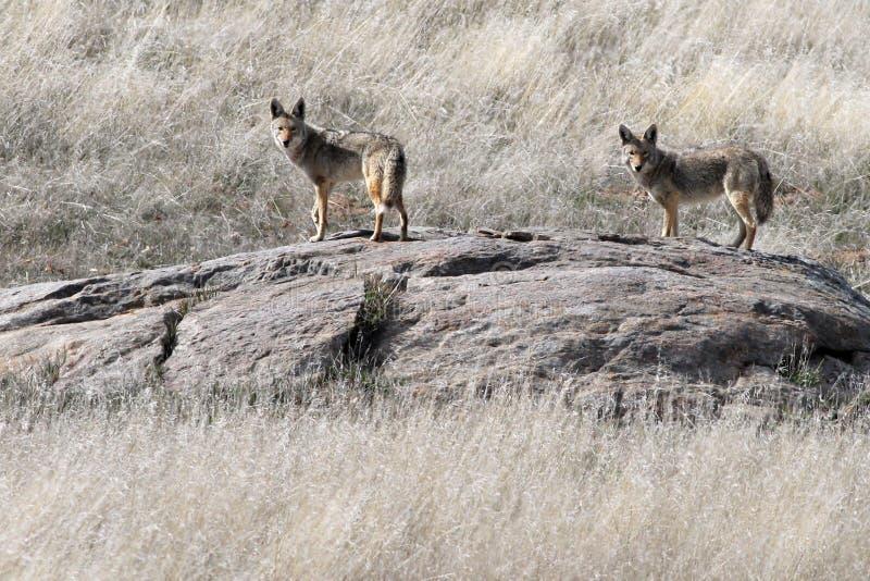 Paar Coyotes op een Rots royalty-vrije stock afbeeldingen