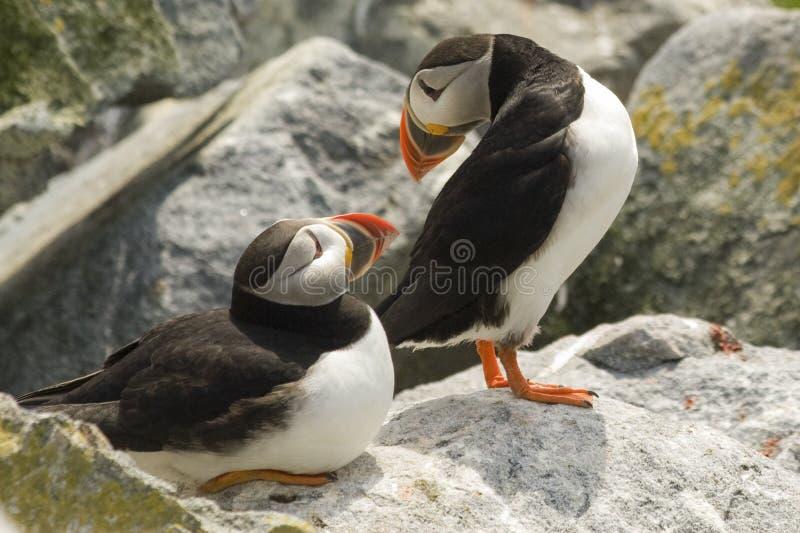 Paar die Atlantische Papegaaiduikers oog-contact op Machias-Verbindingseiland maken, Canada royalty-vrije stock afbeeldingen