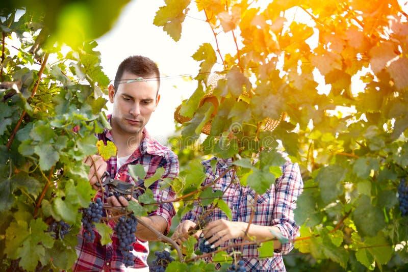Paar die binnen in wijngaard werken stock fotografie