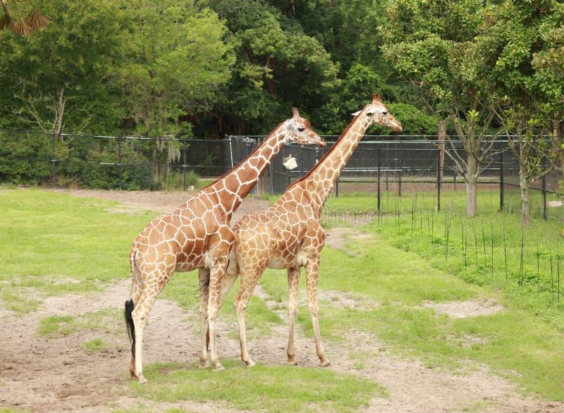 Paar die giraffen zich elkaar bevinden naast royalty-vrije stock afbeeldingen