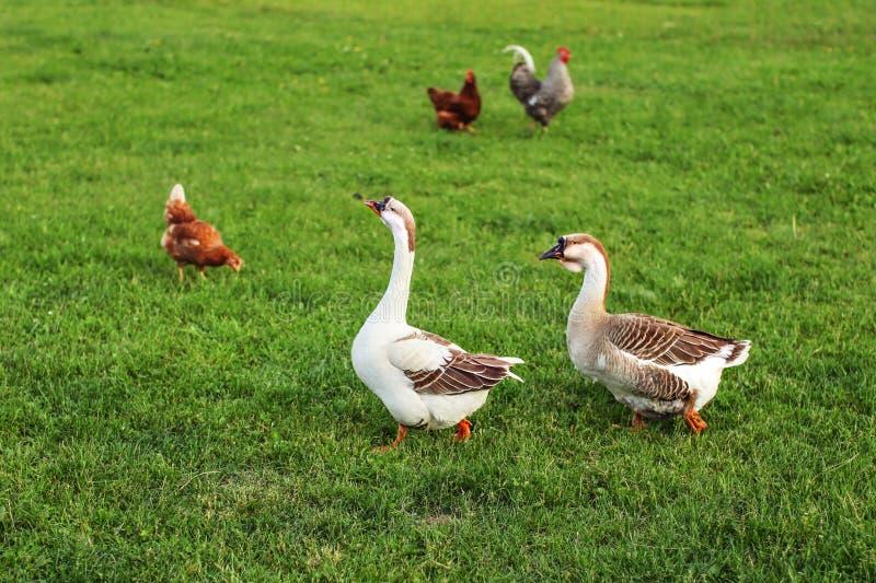 Paar die van ganzen, op groen landbouwbedrijfgras lopen, met kippen in backg royalty-vrije stock fotografie