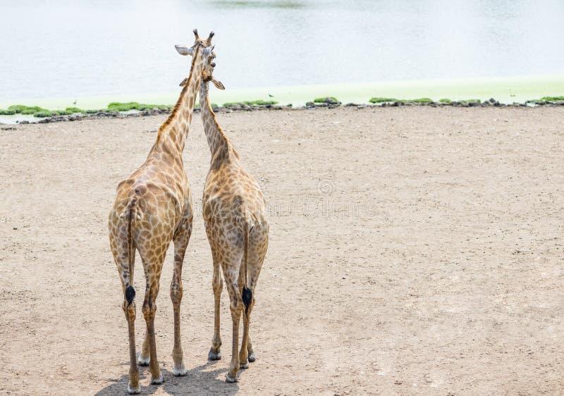 Paar die van giraf zich verenigen stock afbeeldingen