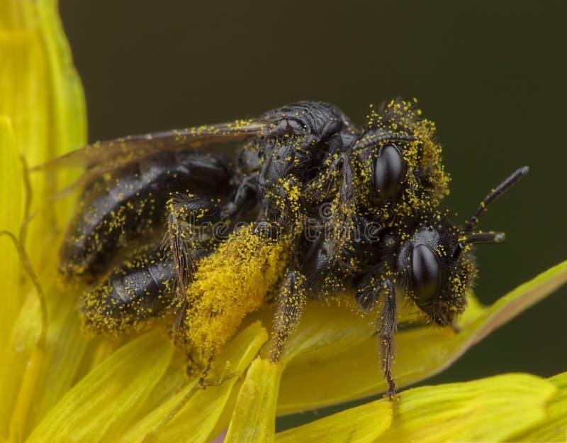 Paar die van kleine honingbijen liefde maken in veel geel stuifmeel stock afbeelding