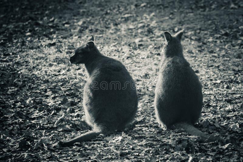 Paar die van leuke kangoeroes, in zwart-wit communiceren op elkaar inwerken royalty-vrije stock afbeelding