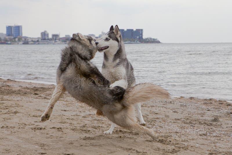 Paar die van schor honden op kust spelen stock afbeelding