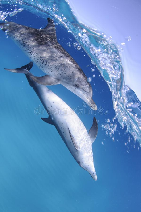 Paar Dolfijnen die op Oceaanoppervlakte in de Bahamas zwemmen stock fotografie